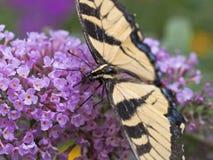 Mariposa del este del swallowtail del tigre imágenes de archivo libres de regalías
