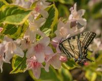 Mariposa del este del swallowtail del tigre en primavera en un jardín de New Hampshire con las flores rosadas fotos de archivo