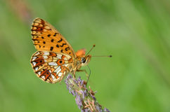Mariposa del Fritillary, Argynnis Fotografía de archivo