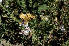 Mariposa del Fritillary aterrizada en una flor del aster de la lavanda Foto de archivo