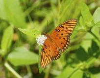 Mariposa del Fritillary del golfo Fotografía de archivo