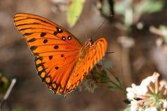 Mariposa del Fritillary del golfo Imagen de archivo