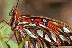 Mariposa del Fritillary del golfo Imagen de archivo libre de regalías