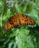 Mariposa del Fritillary del golfo con las alas abiertas en la hoja del helecho. Imagen de archivo libre de regalías