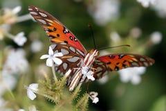Mariposa del Fritillary del golfo en las flores del grafito Imagen de archivo libre de regalías