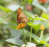 Mariposa del Fritillary del golfo, vanillae de Agraulis Foto de archivo
