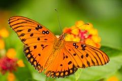 Mariposa del Fritillary del golfo foto de archivo libre de regalías