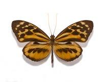 Mariposa del gilberti de los armonios de Tithorea Imágenes de archivo libres de regalías