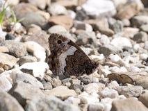 Mariposa del Grayling - hipparchia Fotografía de archivo