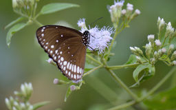 Mariposa del gris de Malabar Imagen de archivo libre de regalías