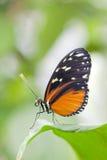 Mariposa del hecale de Heliconius Foto de archivo libre de regalías