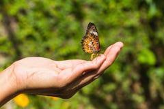 Mariposa del lacewing del leopardo Imagen de archivo libre de regalías
