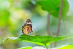 Mariposa del lacewing del leopardo Imágenes de archivo libres de regalías