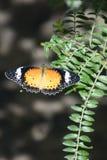 Mariposa del lacewing del leopardo en jardín fotografía de archivo
