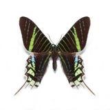 Mariposa del leilus del Urania Fotos de archivo libres de regalías
