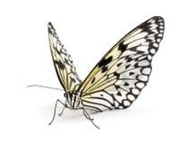 Mariposa del leuconoe de la idea Imagen de archivo libre de regalías