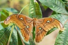 Mariposa del lorquini de Attacus Imágenes de archivo libres de regalías
