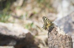 Mariposa del machaon de Papilio Fotos de archivo libres de regalías