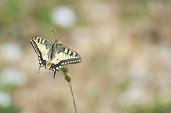 Mariposa del machaon de Papilio Fotografía de archivo libre de regalías