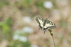 Mariposa del machaon de Papilio Fotos de archivo