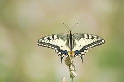Mariposa del machaon de Papilio Imagen de archivo