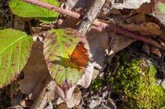 Mariposa del marrón de la coma del c-álbum del Polygonia imágenes de archivo libres de regalías