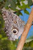 Mariposa del oileus de Caligo Imágenes de archivo libres de regalías