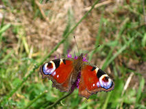Mariposa del ojo del pavo real Fotografía de archivo libre de regalías