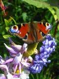 Mariposa del ojo del pavo real que se sienta en la flor Fotografía de archivo