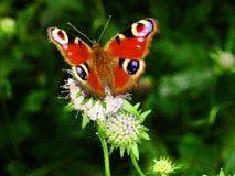 Mariposa del ojo del pavo real imagen de archivo libre de regalías