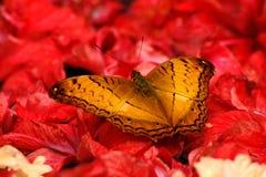 Mariposa del oro en la flor roja imagen de archivo