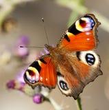 Mariposa del pavo real Imagen de archivo