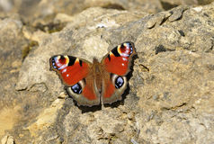 Mariposa del pavo real Fotos de archivo