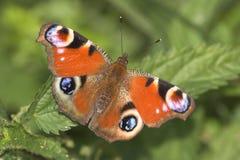 Mariposa del pavo real Imágenes de archivo libres de regalías