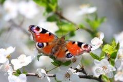 Mariposa del pavo real en el flor de cereza salvaje Imágenes de archivo libres de regalías