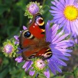 Mariposa del pavo real en la flor Imágenes de archivo libres de regalías