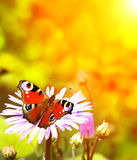 Mariposa del pavo real en la flor Fotos de archivo