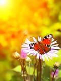 Mariposa del pavo real en la flor Imagen de archivo libre de regalías