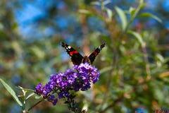 Mariposa del pavo real en la flor Imagen de archivo