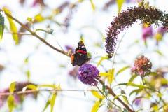 Mariposa del pavo real en la flor Fotografía de archivo libre de regalías