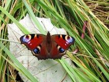 Mariposa del pavo real en la hoja Fotos de archivo libres de regalías