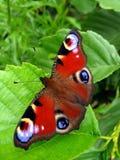 Mariposa del pavo real en la hoja Imagenes de archivo