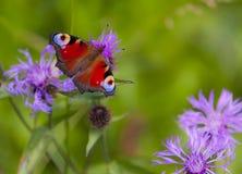 Mariposa del pavo real, inachis io Imagen de archivo libre de regalías