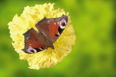 Mariposa del pavo real (Vanesa io) Fotos de archivo libres de regalías