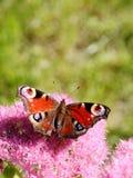 Mariposa del pavo real y flores rosadas Fotografía de archivo libre de regalías