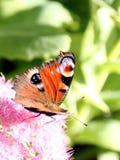Mariposa del pavo real y flores rosadas Imagen de archivo libre de regalías