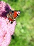 Mariposa del pavo real y flores rosadas Fotos de archivo