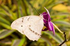 Mariposa del polyphemus de Morpho Fotografía de archivo
