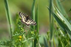 Mariposa del polyxena meridional del adorno o de Zerynthia Fotos de archivo