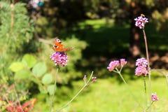 Mariposa del primer en mariposa común del tigre de la flor Fotografía de archivo libre de regalías